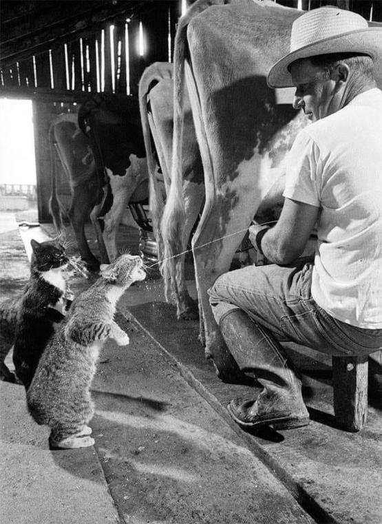 This picture of a cat having sone fresh milk