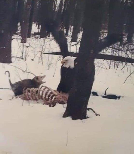 Possum yelling at a bald eagle