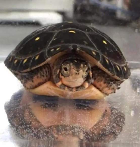 Turtle with a reflection looking like a face of a Man