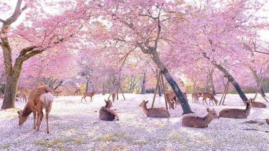 With no crowds, it was the deer who enjoyed the blossoms