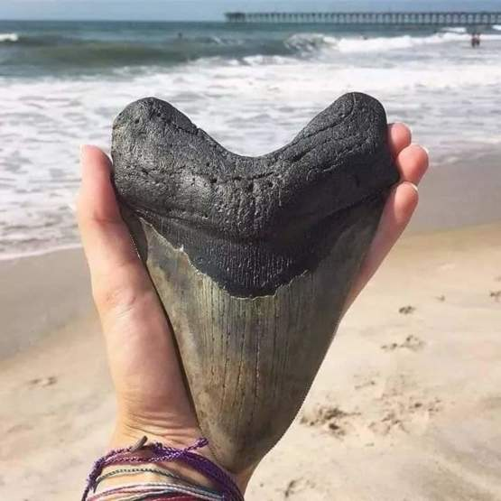 """6.55"""" Monster Megalodon tooth found off the coast of North Carolina. Wow!"""