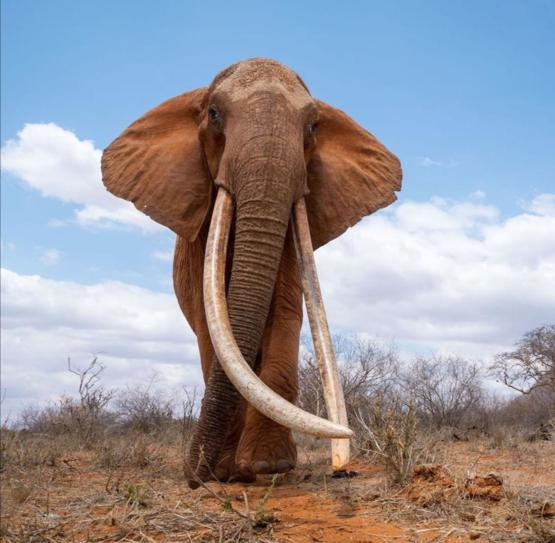 Incredible beauty in nature. The fully grown tusks of this elephant is amazing
