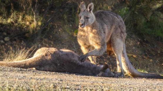 A male kangaroo grieves over the body of a dead female roo killed by a vehicle in Australia