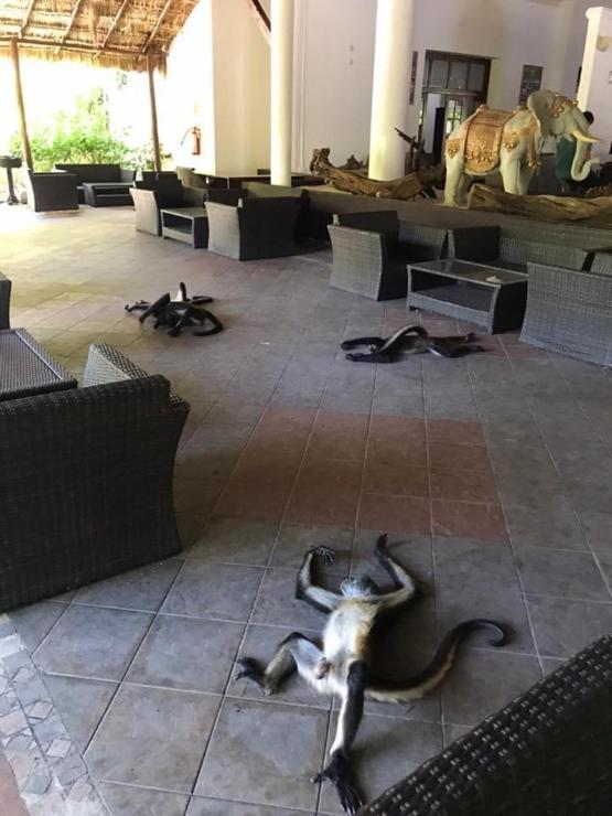 Went to open the hotel after 4 months and the monkeys had taken over.