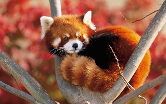 The Red panda, an endangered species found in India, Nepal, Bhutan, Mayanmar and China.