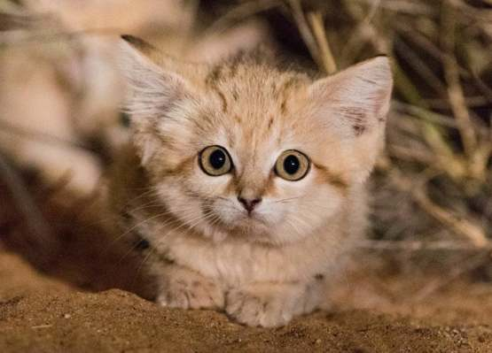 The first picture ever taken of the sand-kittens in the Moroccan Sahara.