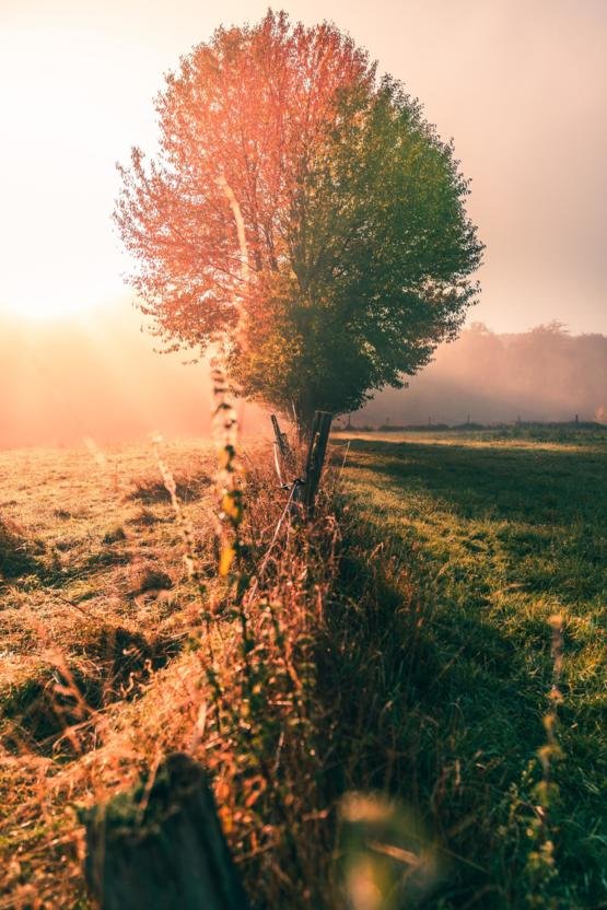 This tree having two colours during a foggy sunrise in German Odenwald