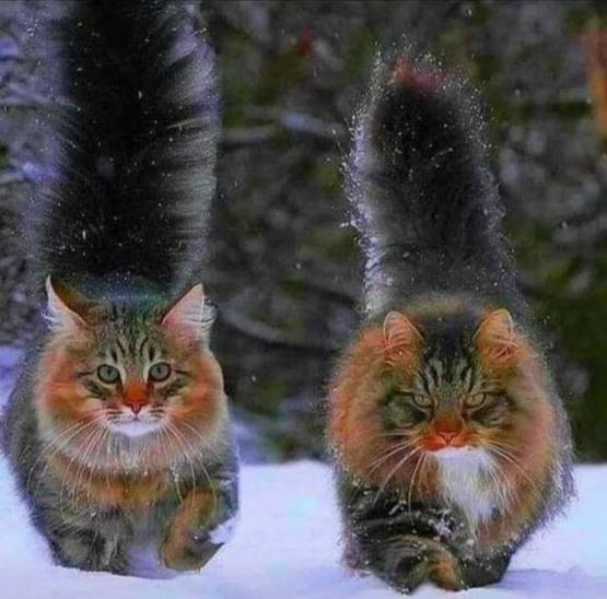 Norwegian Forest cats.