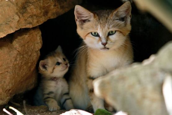 A Sand cat and her mini meow. Cute but tough survivors