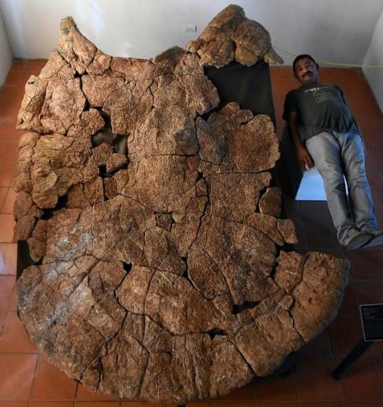 Fossils of a turtle the size of a car have been unearthed in South America. Carlos for scale.
