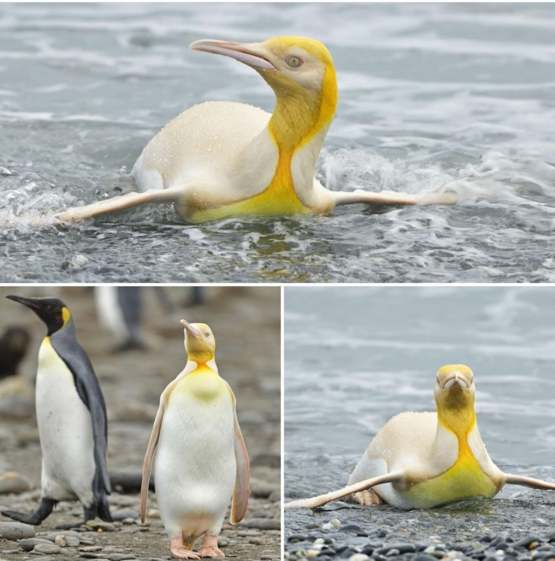 Yellow coloured penguin