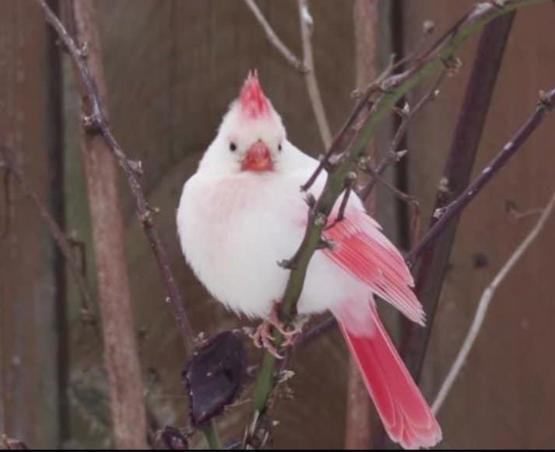 A rare white cardinal was spotted in Toronto