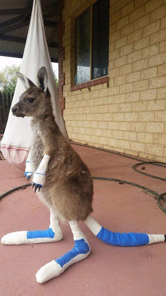 A kangaroo that was saved from a fire