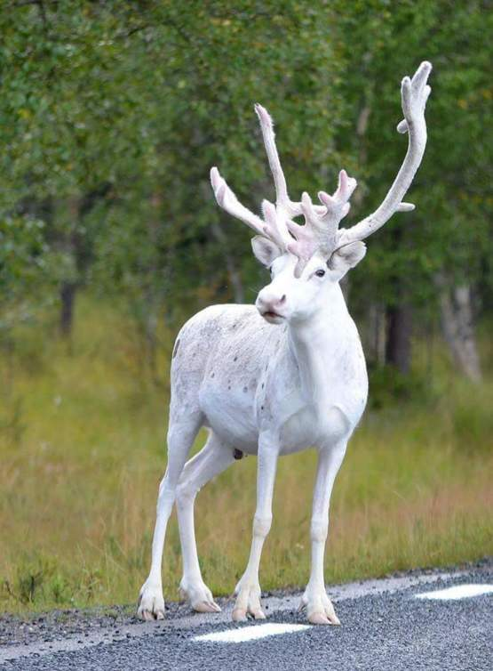 Rare white reindeer makes magical appearance in Sweden