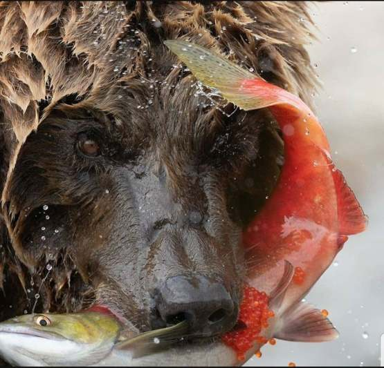 Grizzly caught his salmon