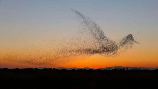 Flock of starlings in the shape of...a starling....