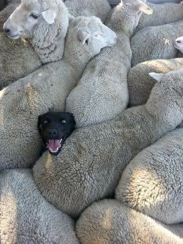 When you lie on your CV about having sheepdog experience