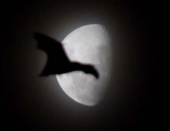 I was taking a picture of the moon and got photo bombed by a bat