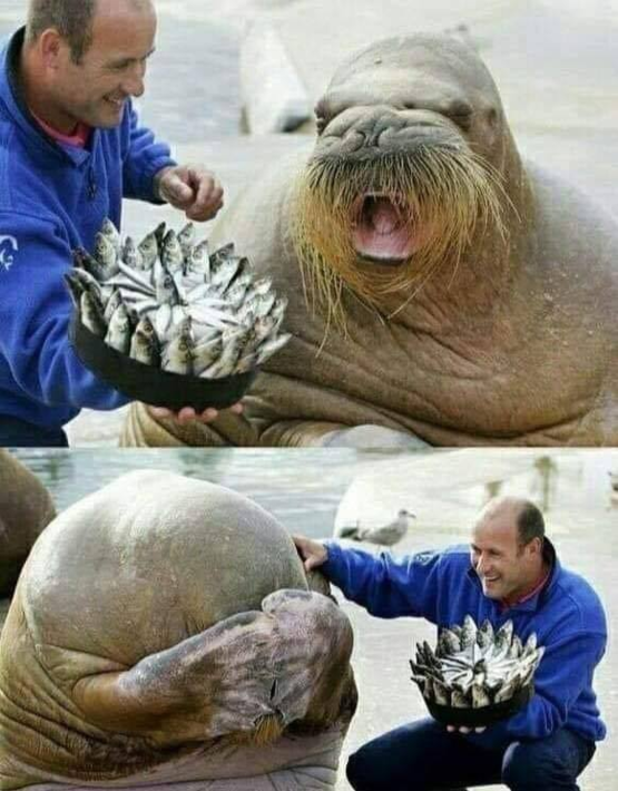 Nikolai the walrus received a fish cake for his birthday from one of the zoo keepers and his reactio