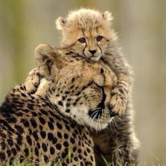 A cheetah mother and her cub after witnessing her father killed