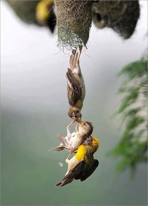 Baby bird being saved by loving parents - amazing shot!