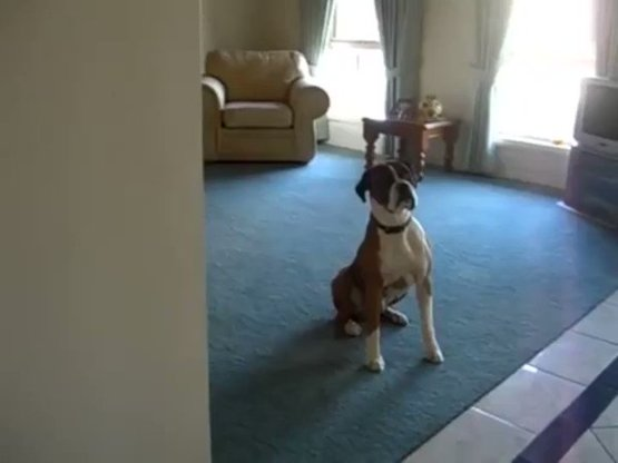 Dog can't contain himself when his owner says ''walk''