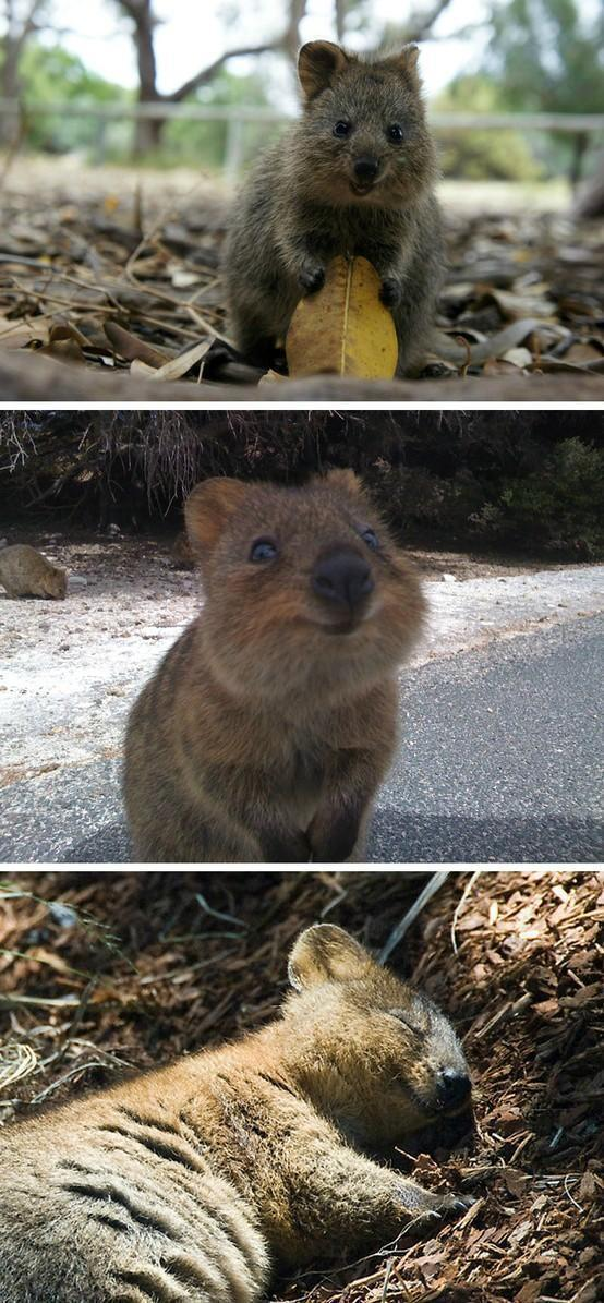the quokka is the happiest animal in the world trending