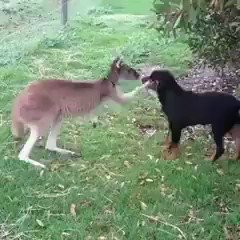 look at this roo petting a doggo ????????