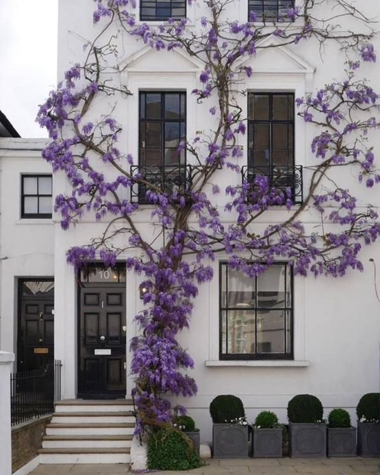 Wisteria on a White Wall...