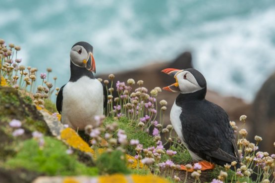 Puffin Talk on Saltee Island Great