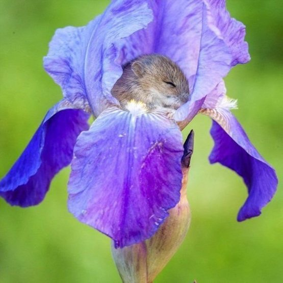Vole sleeping in an iris flower