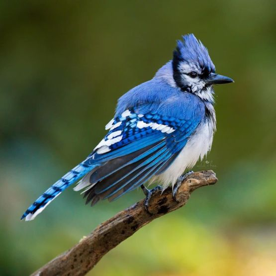 Bluejay With His Crest Up Trending On Twitter