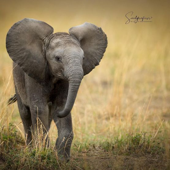 cute elephant calf trending on twitter