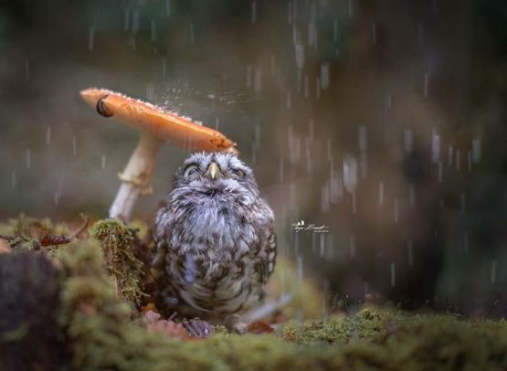 Adorable Owl Hiding From Rain Under A Mushroom