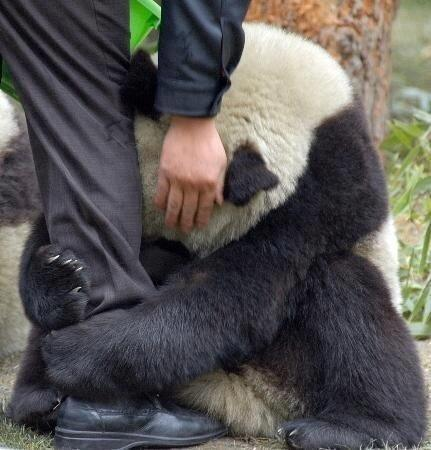 Poor panda.. :(  Terrified Panda hugging police officer's leg after an earthquake...