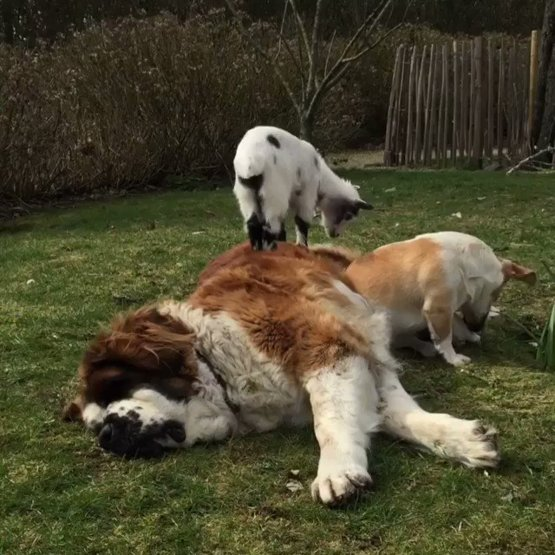 Why nap on the ground when you can nap on a Saint-Bernard