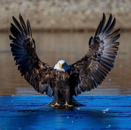 Bald Eagle landing on the ice