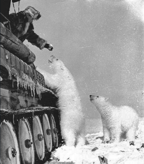 Feeding polar bears from a tank. c. 1950.