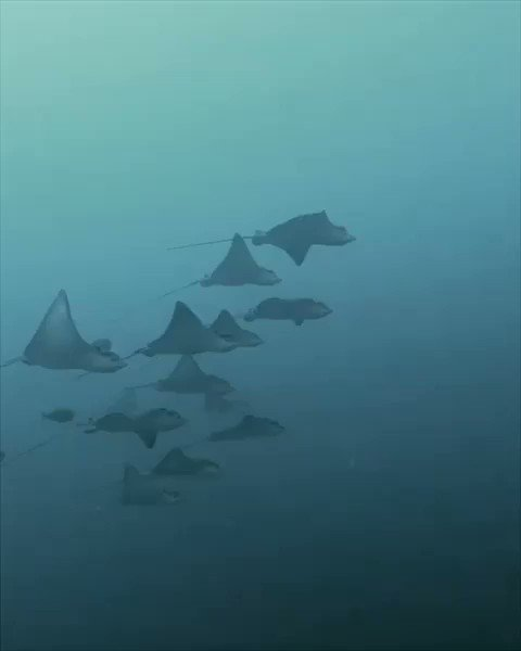 Magical eagle rays.