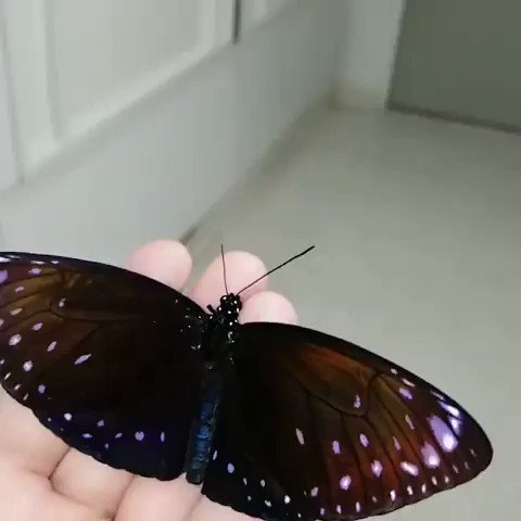 Euploea phaenareta, the giant crow