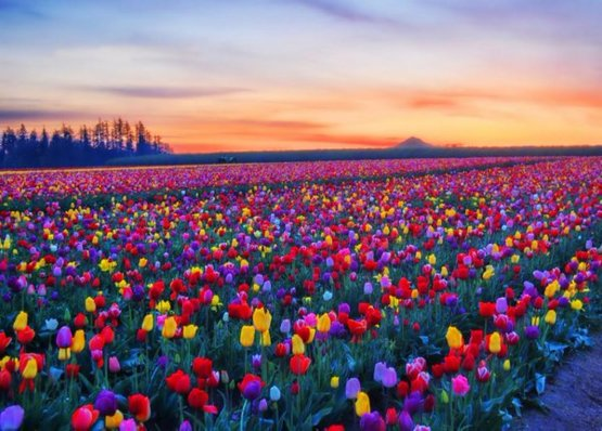 So nice! Thank you!    Lush field of tulips.  #HappySpring memories