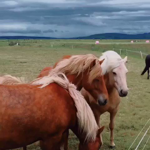 Horses in Iceland.