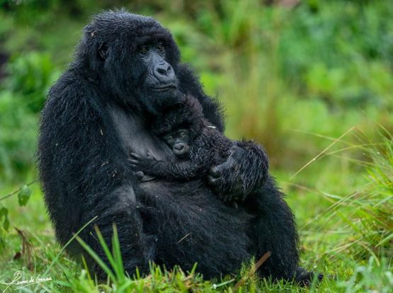 A month old baby takes cover from the rain on its mother's chest