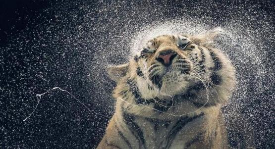 Tiger washing off