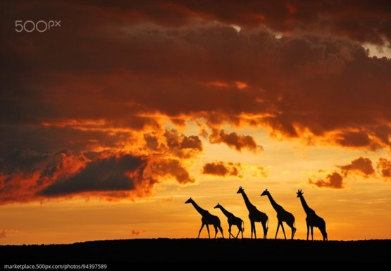 5 Giraffes photography by Muriel Vekemans