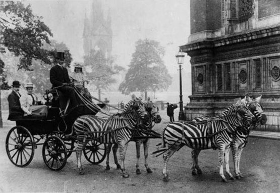 Zebra-drawn carriage parked outside The Royal Albert Hall, London, 1900.