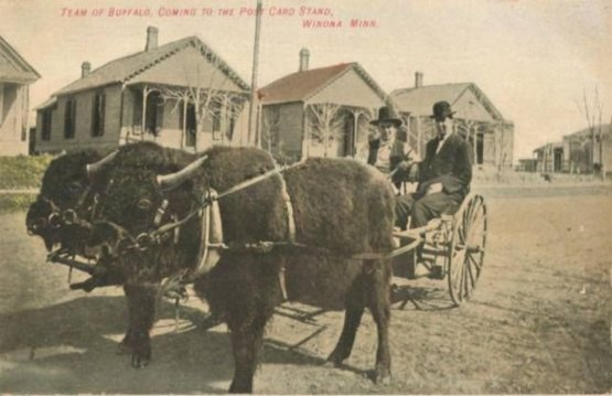 Bison pulling a cart in Winona, Minnesota. Postcard from 1908.