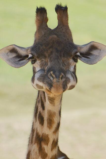 Baby Giraffe with his mouth full