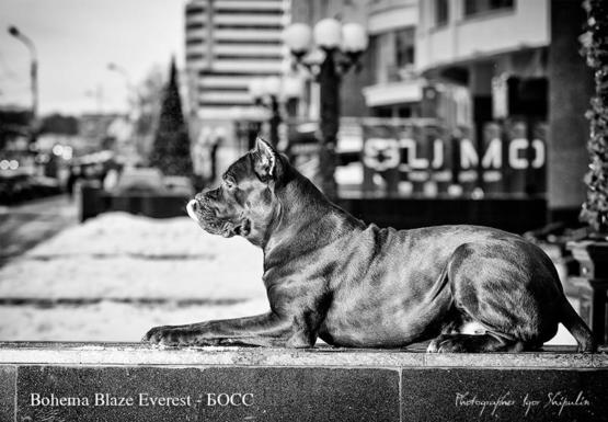 Cane Corso  Bohema Blaze Everest   #animals #imgsrc