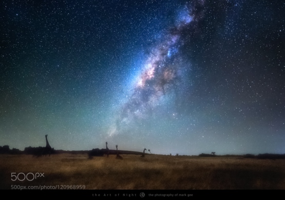 Giraffes by Starlight by